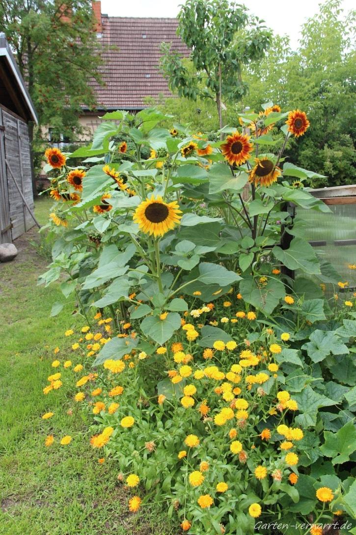 selbst ausgesäte Sonnenblumen und Ringelblumen