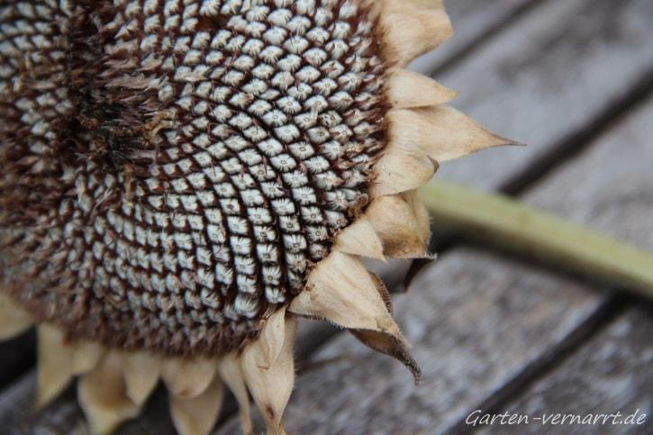 Sonnenblumenkerne fürs kommende Jahr sammeln