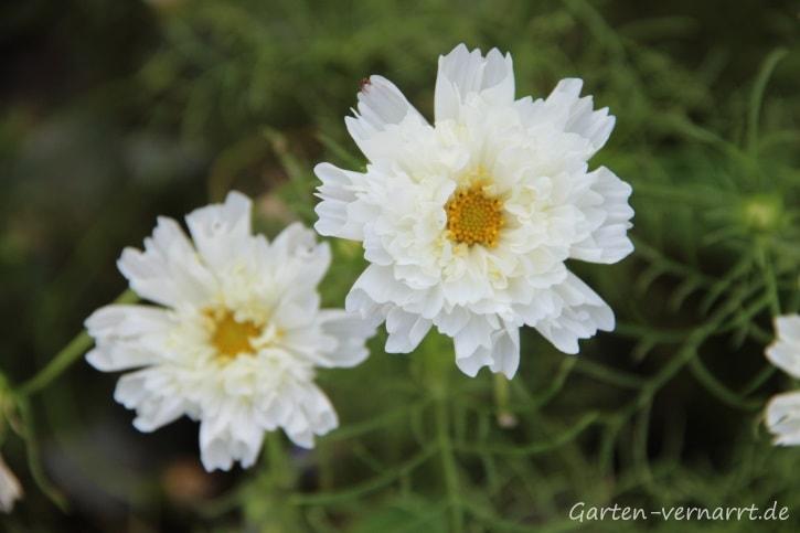 Weiße, Gefüllte Kosmeen für den Hausgarten