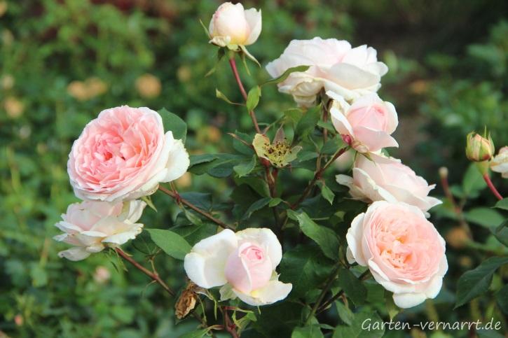 Rose in zartem Rosa mit vielen Knospen