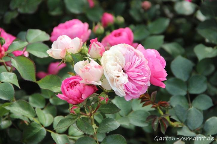Zweifarbige Rose in Rosatönen auf der IGA