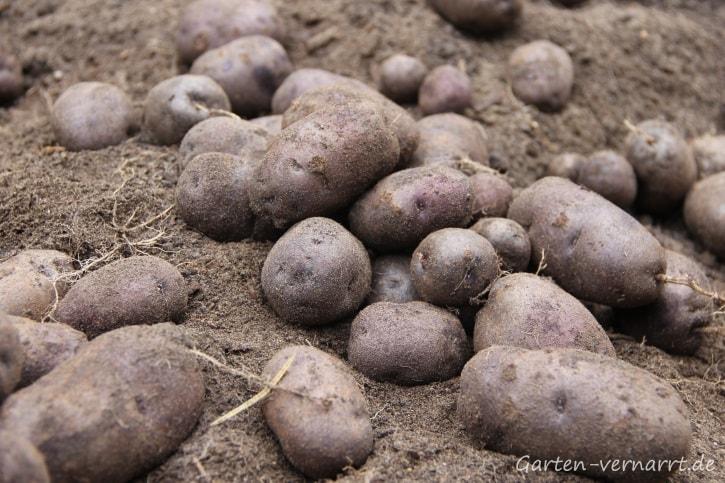 Kartoffelsorte Blauer Schwede im Garten anbauen