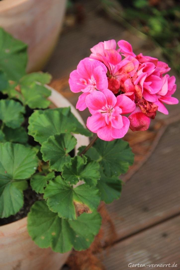 Geranien (Pelargonien) mehr als eine Saison kultivieren