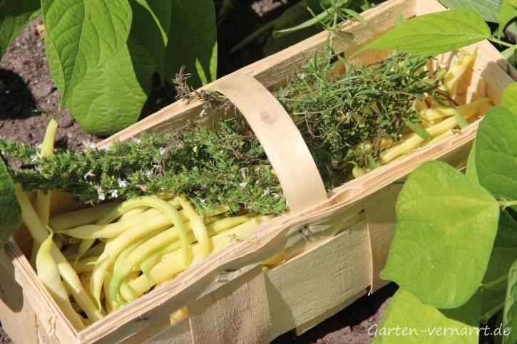 Gelbe Wachsbohnen mit Bohnenkraut ernten