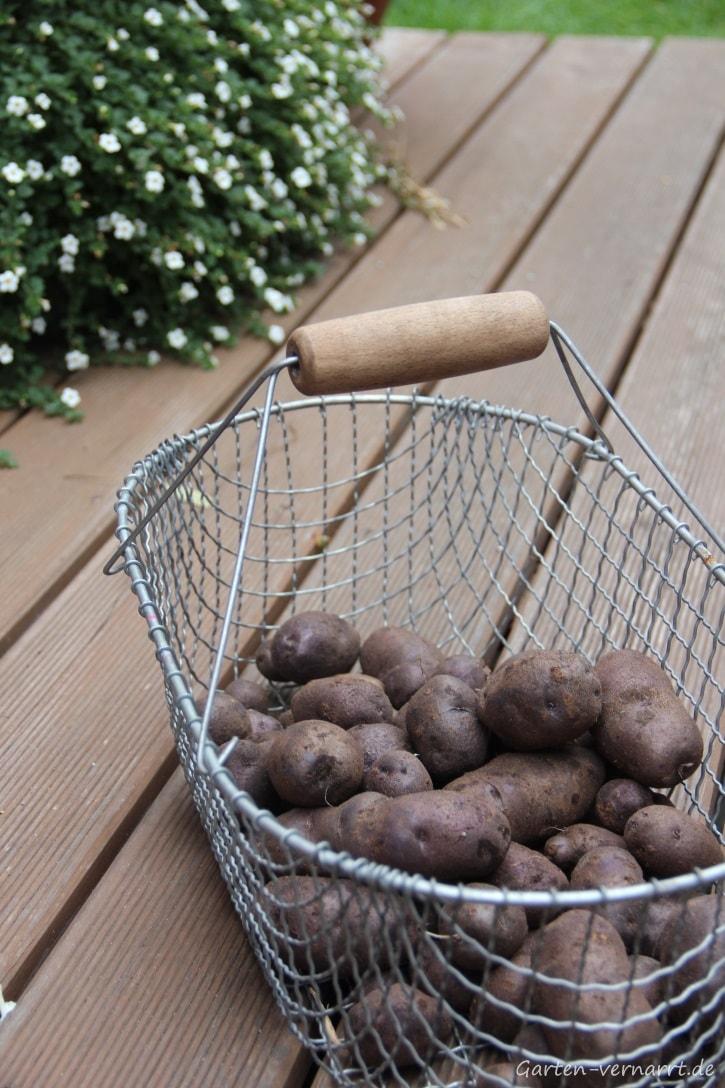 Kartoffeln 'Blauer Schwede' anbauen