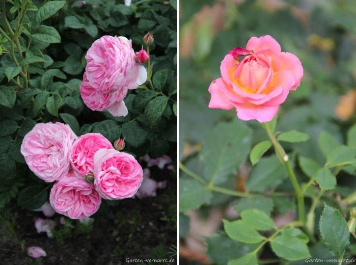 Rosafarbene Rosen für den Garten