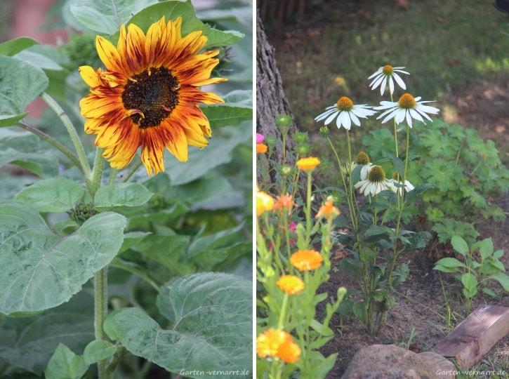 Sonnenblumen, Ringelblumen und Sonnenhut im Staudenbeet