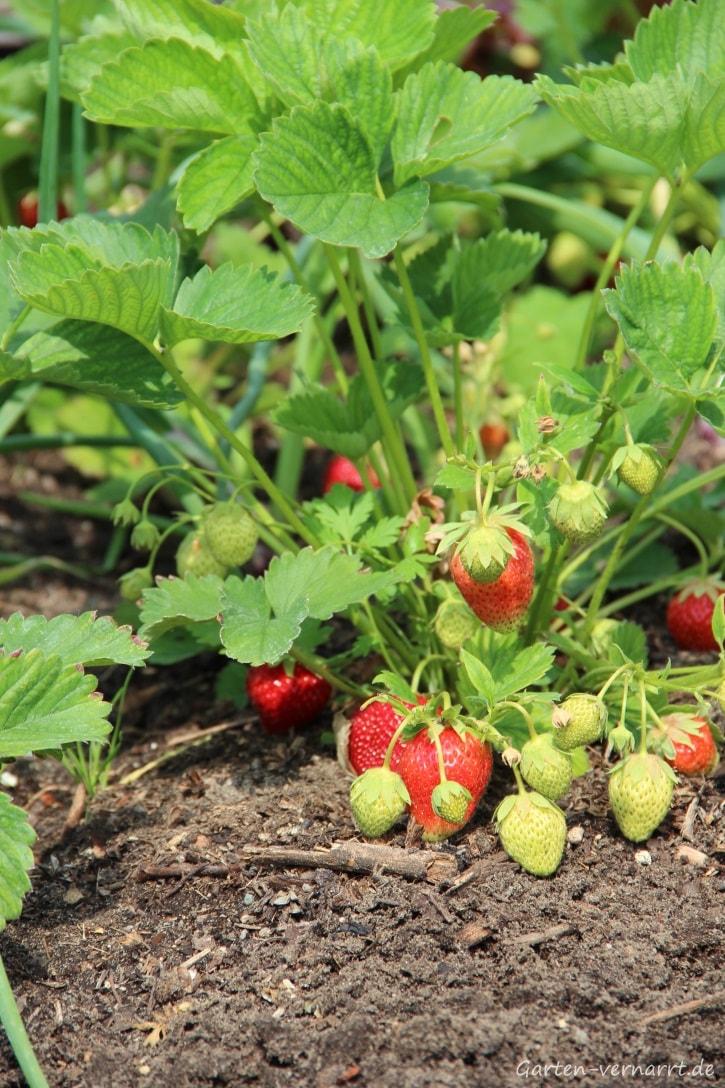 Ein Blick ins Erdbeerbeet