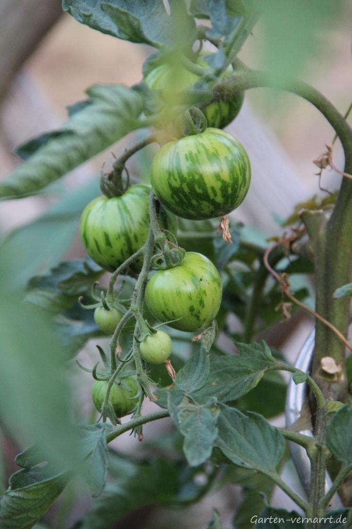 "Salattomate ""Tigerella"" noch ohne Blütenendfäule"