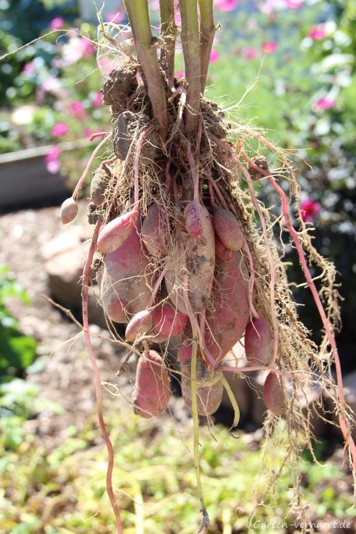 Kartoffeln im Garten kultivieren