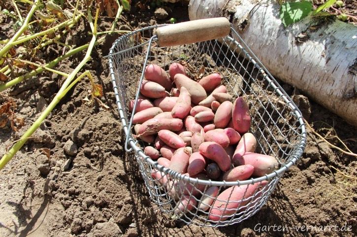 Mit Grabegabel und Erntekorb ins Kartoffelbeet