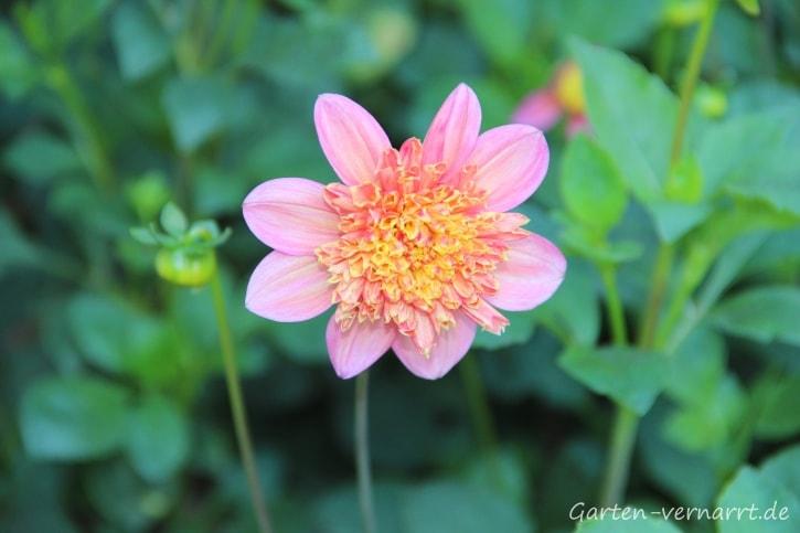 Blüteder Dahliensorte Lambada