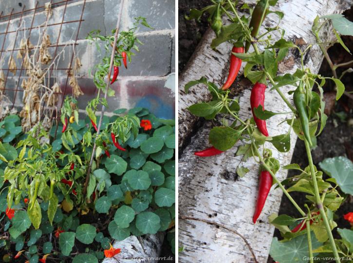 Chili de Cayenne im Garten