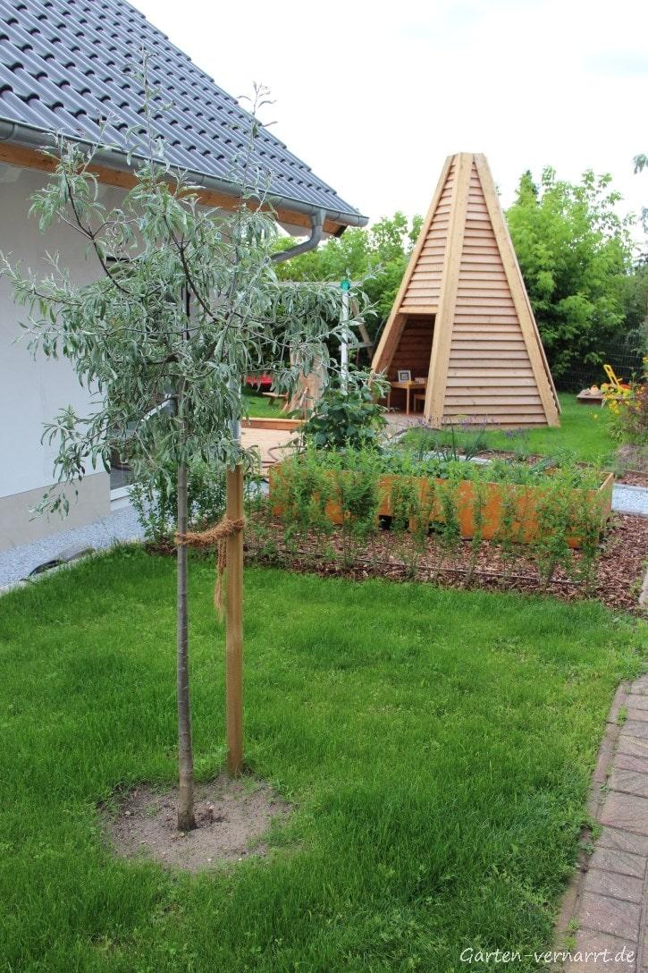 Hängende Wildbirne und Liguster im Vorgarten